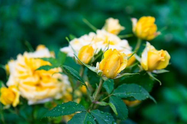 Colpo di messa a fuoco selettiva di un cespuglio di belle rose gialle da giardino