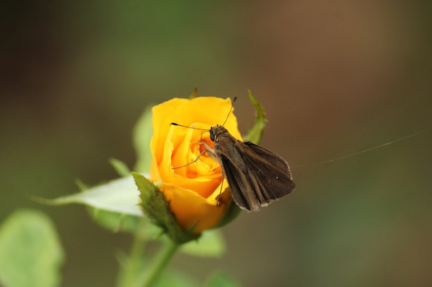 Selective focus shot of a butterfly perched on a yellow rose