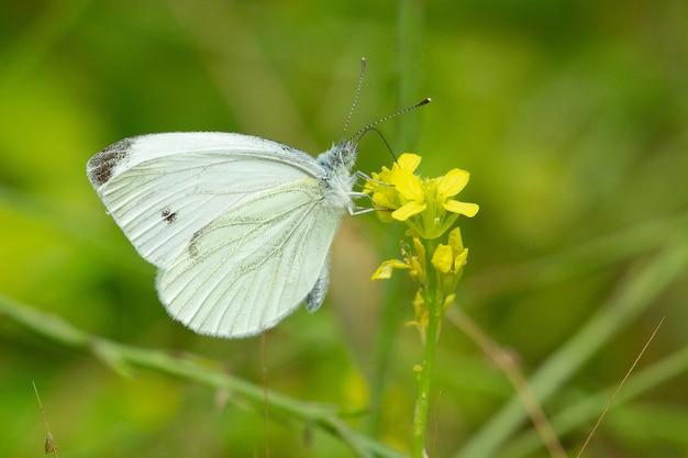Messa a fuoco selettiva di una farfalla di cavolo cappuccio bianco o pieris rapae su un fiore all'aperto