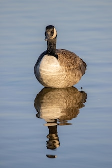 Selective focus shot of a canadian goose floating on a pond