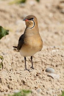 Selective focus shot of collared pratincole standing on the ground