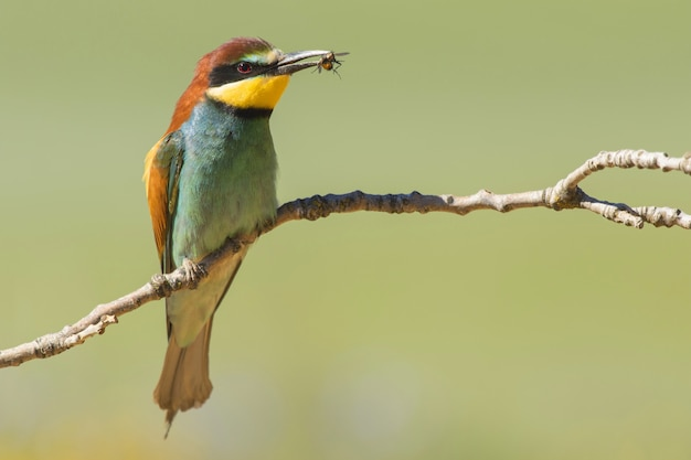 Selective focus shot of a colorful bee-eater bird on the thin branch of a tree