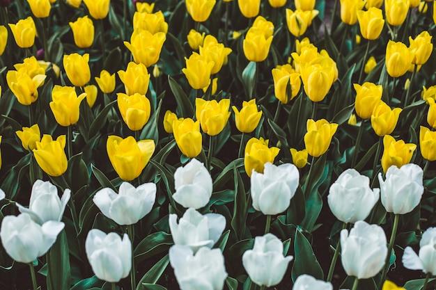 Colpo di messa a fuoco selettiva di tulipani colorati in fiore in un campo