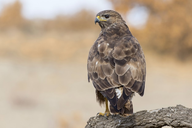 Selective focus shot of a common buzzard perched on a branch