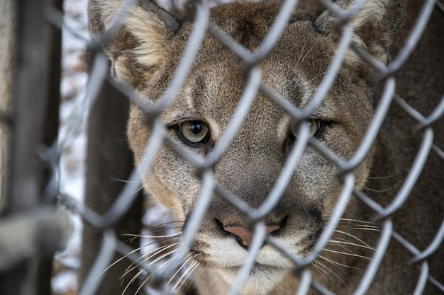 Selective focus shot of a cougar looking at the camera through a metal fence