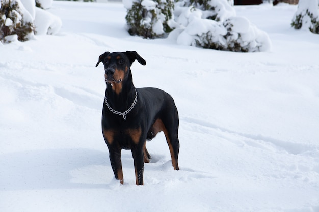Selective focus shot of a cute black dobermann wandering in the winter wonderland