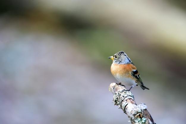 Colpo di messa a fuoco selettiva di un simpatico uccello brambling seduto su un bastone di legno con uno sfondo sfocato