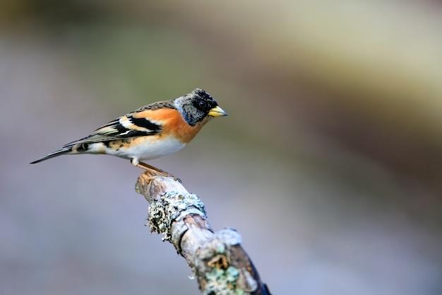 Selective focus shot of a cute brambling bird sitting on a wooden stick