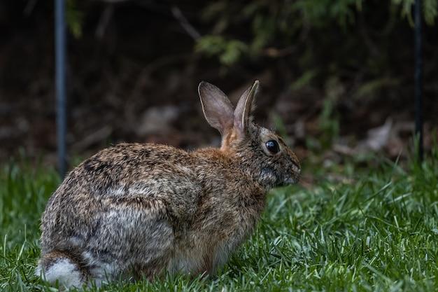 Colpo di messa a fuoco selettiva di un simpatico coniglio marrone seduto sul campo coperto d'erba