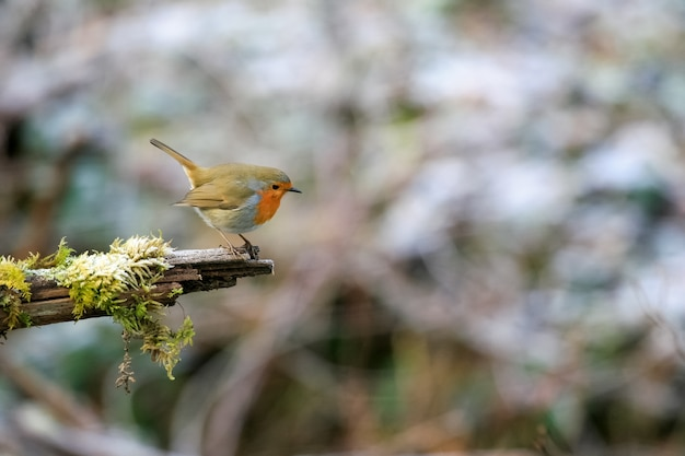 Selective focus shot of a cute european robin bird sitting on the mossy branch