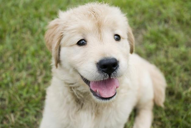 Messa a fuoco selettiva colpo di un simpatico cucciolo di golden retriever seduto su un terreno erboso