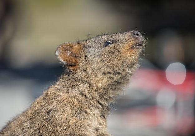 Colpo di messa a fuoco selettiva di una marmotta carina che osserva in su