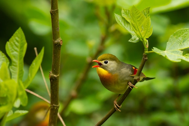 Selective focus shot of a cute singing red-billed leiothrix bird perched on a tree