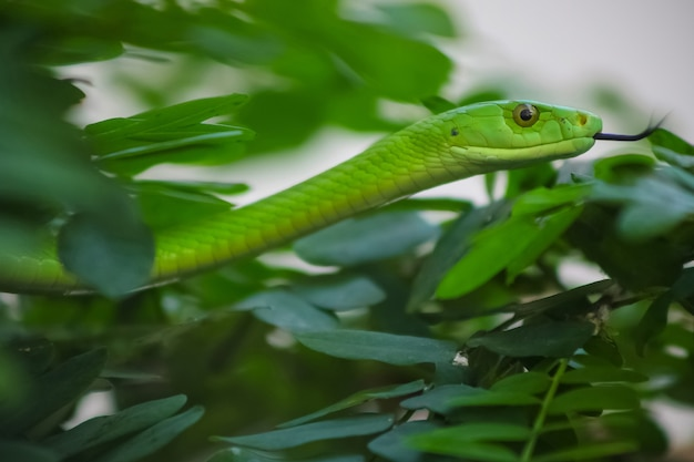 Selective focus shot of a cute  smooth green mamba snake between green leaves