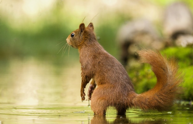 Selective focus shot of a cute squirrel in the water