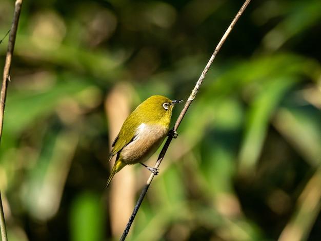 Colpo di messa a fuoco selettiva di un simpatico occhio bianco warbling che riposa sul ramoscello nella foresta di izumi a yamato