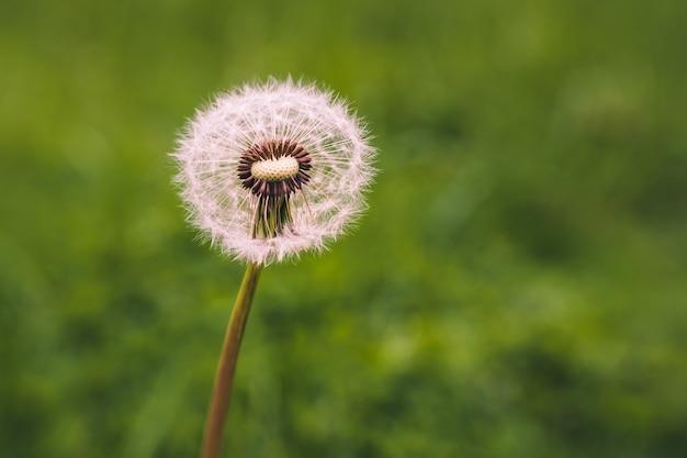 Selective focus shot of a dandelion