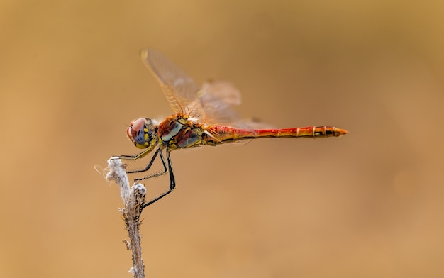 Selective focus shot of a dragonfly on a stick with a light brown background