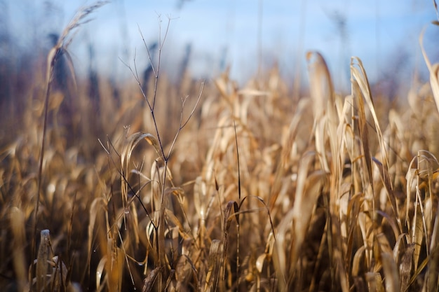 Selective focus shot of dried grass on a sunny day