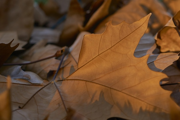Selective focus shot of dry fallen maple leaves