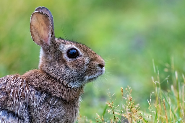 Selective focus shot of an eastern cottontail rabbit on the green field
