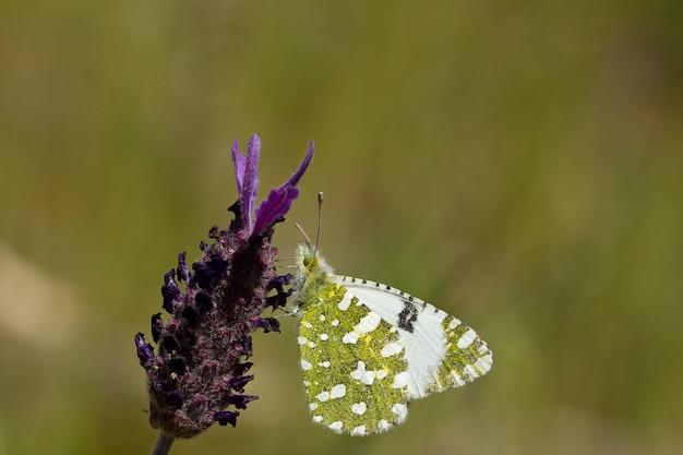 Selective focus shot of euchloe crameri butterfly on lavender