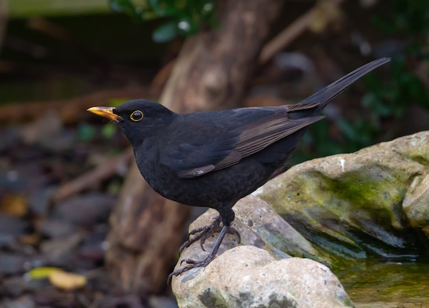 Selective focus shot of a eurasian blackbird perched on the rock