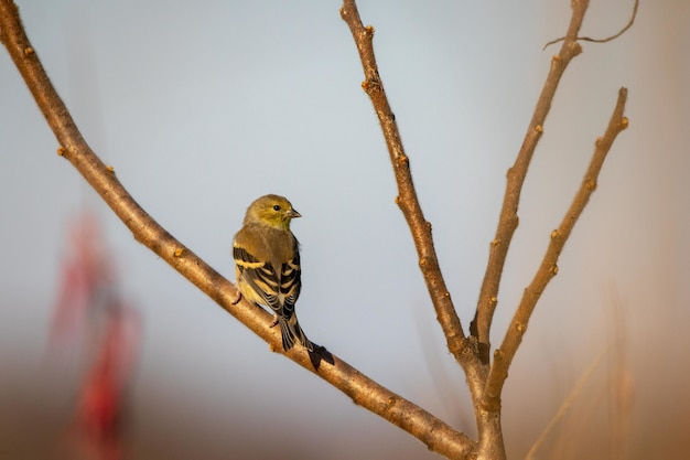 Selective focus shot of a eurasian siskin perched on a branch