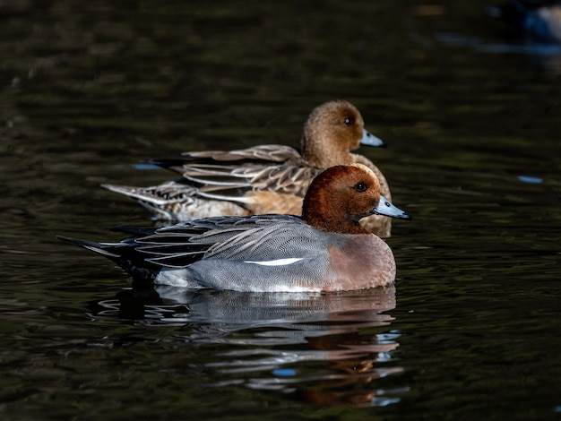 Selective focus shot of eurasian wigeon ducks, mareca penelope in a small pond