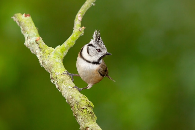 Selective focus shot of a european crested tit bird on a branch
