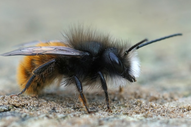 Selective focus shot of the european orchard bee