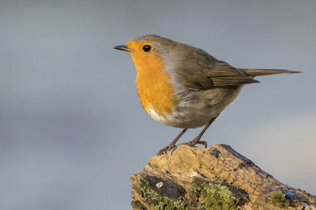 Selective focus shot of a european robin sitting on a mossy rock with a blurry grey background