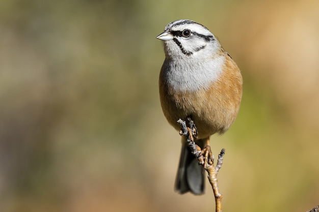 Selective focus shot of an exotic sparrow sitting on a really thin branch