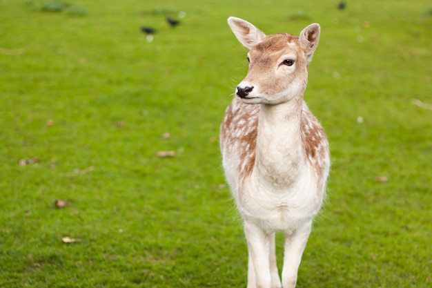 Selective focus shot of fallow deer doe standing on a meadow with a green grass