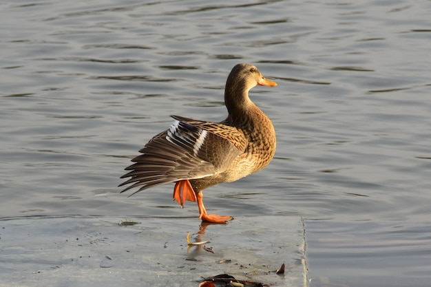 Selective focus shot of a female mallard duck standing on one fibula on the river bay