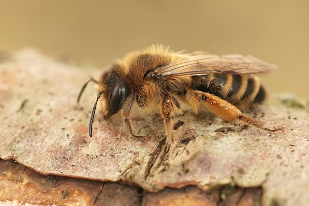 Selective focus shot of a female yellow-legged mining bee on a piece of wood