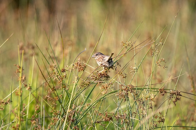 Selective focus shot of a field sparrow perched on plants in a field