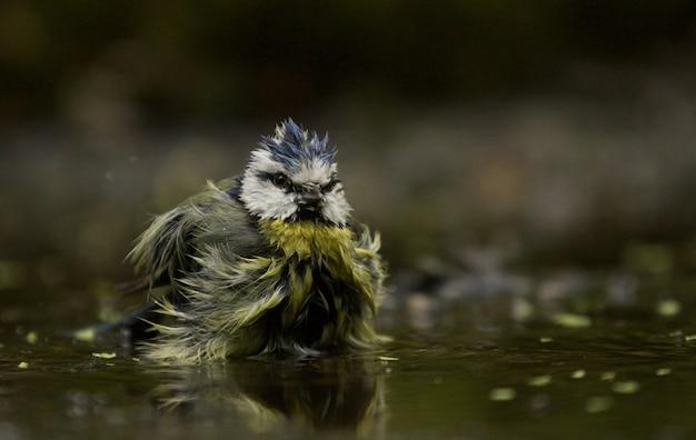 Colpo di messa a fuoco selettiva di un uccello divertente cinciarella