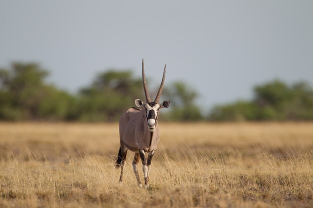 Selective focus shot of a gemsbok walking in a dry grassy field while looking towards