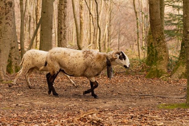 Selective focus shot of goats (capra aegagrus hircus), montseny natural park
