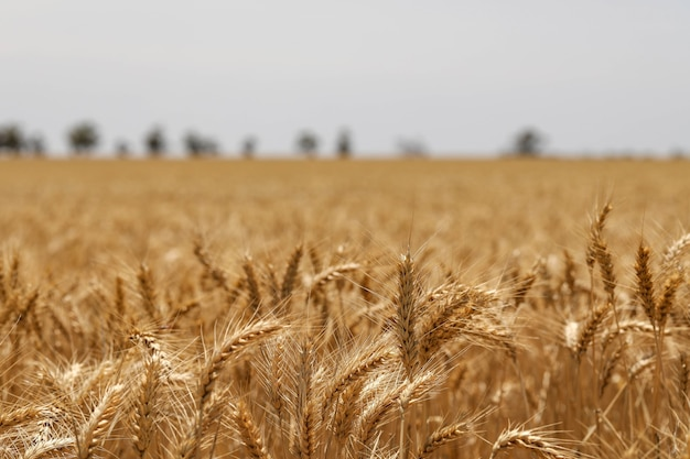 Selective focus shot of golden ears of wheat in a field