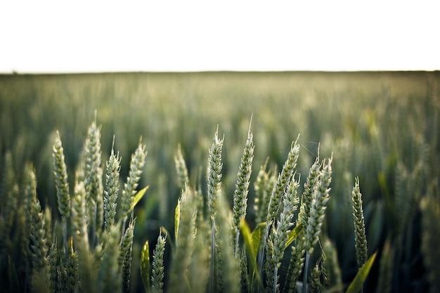 Colpo di messa a fuoco selettiva dell'erba nel campo - perfetto per lo sfondo