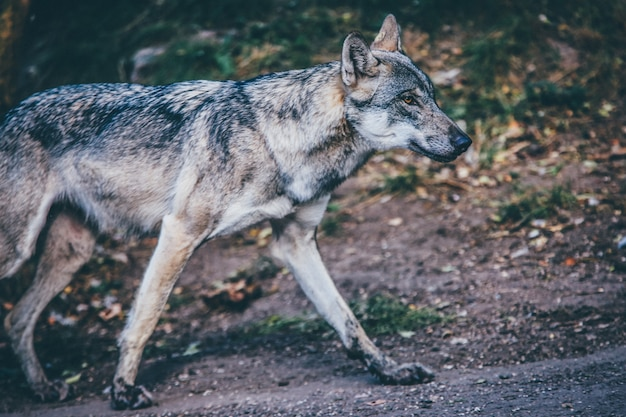 Selective focus shot of a gray wolf