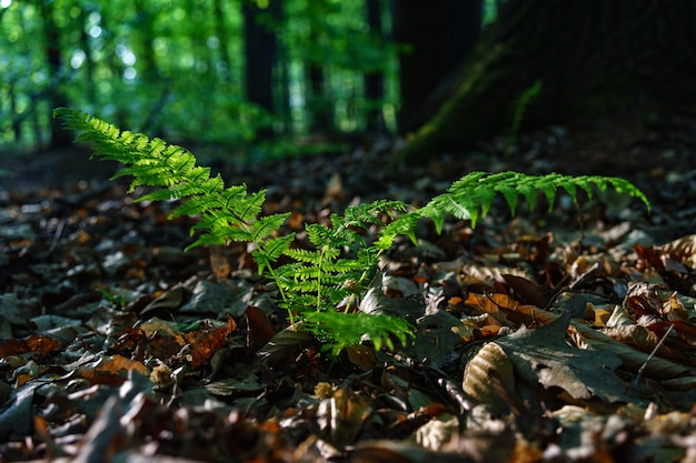 Messa a fuoco selettiva colpo di pianta verde struzzo comune in un campo pieno di foglie secche