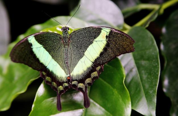 Colpo di messa a fuoco selettiva di una farfalla verde a coda di rondine sull'erba dell'isola di mainau