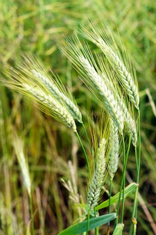 Selective focus shot of green wheat under the wind