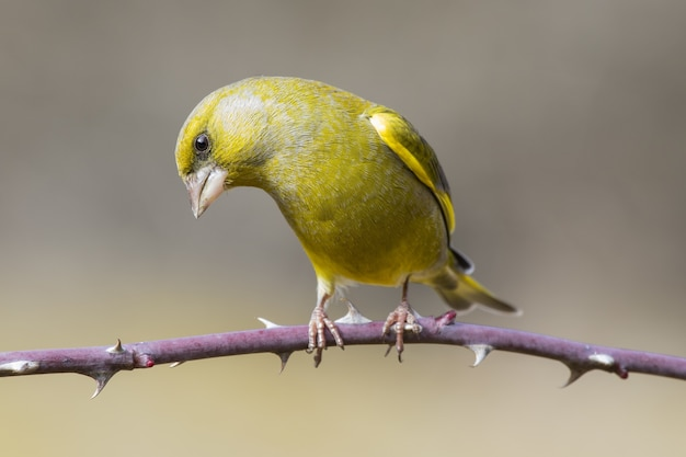 Selective focus shot of a greenfinch bird perched on a thorny branch with a blurred background