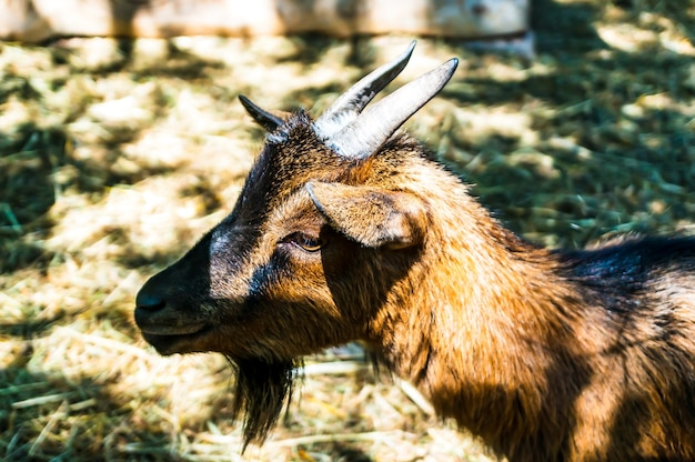 Selective focus shot of the head of a brown goat in a field captured during the daytime