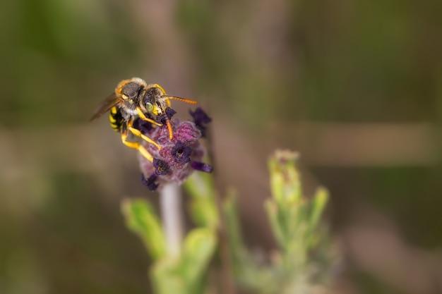 Selective focus shot of the honeybee collecting pollen
