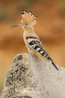 Selective focus shot of a hoopoe perched on a rock